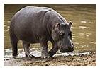 hippow