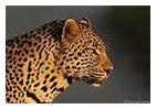 leopardw