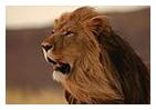 lionw