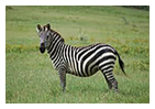 zebraw